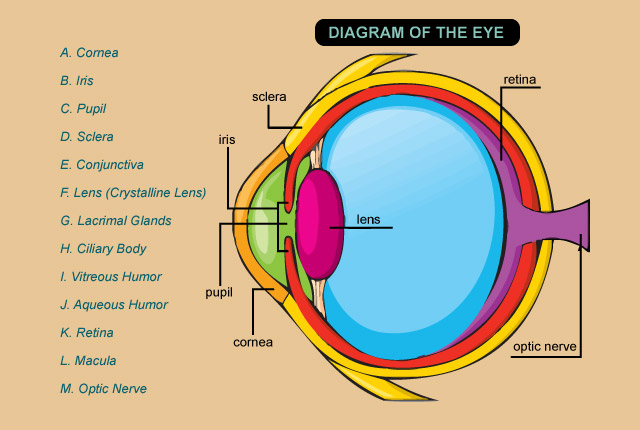 Diagram of the Eye - A. Cornea; B. Iris; C. Pupil; D. Sclera; E. Conjunctiva; F. Lens (Crystalline Lens); G. Lacrimal Glands; H. Ciliary Body; I. Vitreous Humor; J. Aqueous Humor; K. Retina; L. Macula; M. Optic Nerve